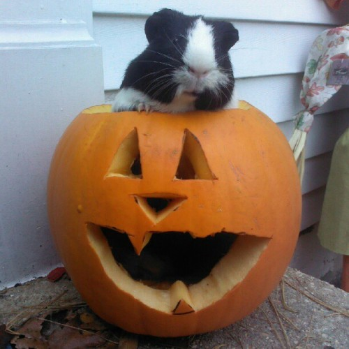 "thefluffingtonpost:  Guinea Pig Refuses to Acknowledge that Halloween Is Over Brownie the guinea pig loves Halloween. That's why she is refusing to let it die.  According to reports from those close to the situation, the guinea pig has barricaded herself inside a disused Jack'o'lantern and refuses to leave until everyone puts their costumes back on. ""This happens every year,"" said neighbor Troy Wilkins.  ""It's a month of Brownie running around her yard like a nut putting up decorations, a day of absolute joy, then out comes the pumpkin and in she goes."" According to Wilkins Brownie will eventually admit that Halloween is over and end her protest.  We'll keep you updated as this story progresses. Via mypets_and_ilove1d."