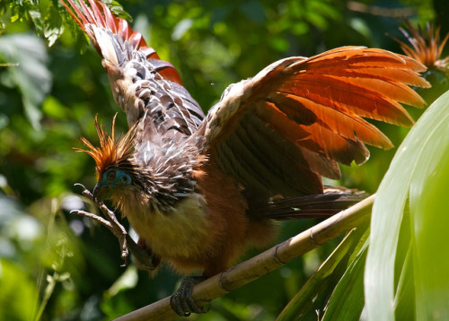 Hoatzin by webgoers on Flickr.