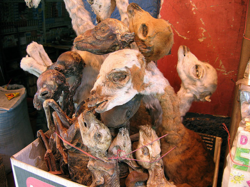 deafmuslimpunx:  isagaani:  This image portrays several dried llama fetuses sold at the Witches' Market, a popular tourist destination in La Paz, Bolivia. Legend states that these artefacts are sacred to the Incan goddess, Pachamama. Common practice dictates that before moving into a new house, dried llama fetuses must be buried under the new house's foundations to invite good fortune for the duration of the family's residence in the house.  very cool