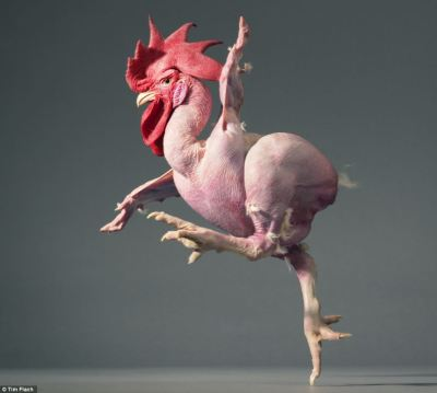 theanimalblog:  A featherless chicken mid-stride. Taken by Tim Flach.  oh. mygawd.