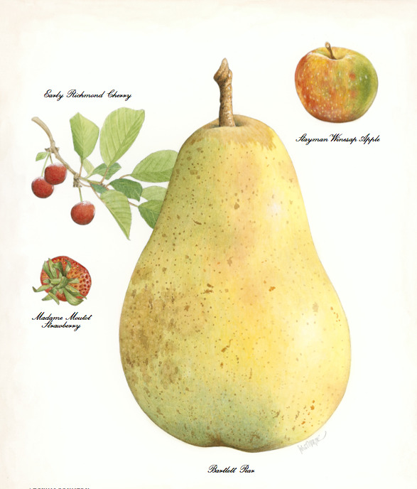 In Town & Country December beautiful illustrations of holiday produce favorites inspired by seed catalogs.     Illustration by John Burgoyne