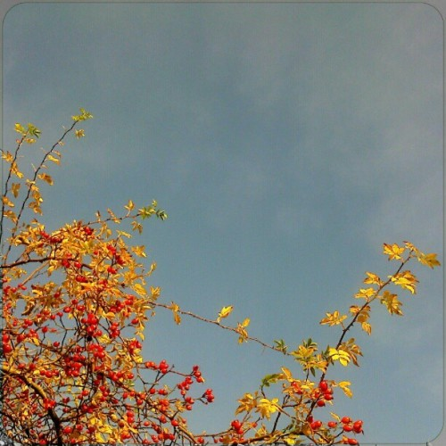today's #sky… #rosehips #rosehip #dogrose #rose #berries #fruits #orange #yellow #leaves #foliage #autumn #fall #bluesky #nofilter #beautiful #hazy #Wales #sunny #шиповник #небо
