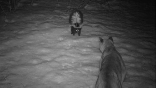 Skunk scares off cougar in camera trap photoThe unusual encounter, snapped in March, is one of thousands of camera trap images that reveal the hidden lives of animals in Waterton Lakes