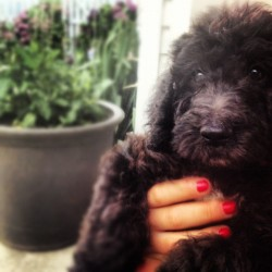 Fluffy little nugget 🐾 #lola #throwback #tbt #fluffy #doodle #presh #puppy #babygirl #dogsofinstagram #summer