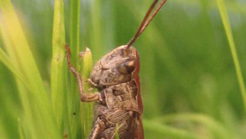 Traffic makes grasshoppers sing louder'Man-made noise' not only influences how we communicate but it also has changed how grasshoppers attract mates.