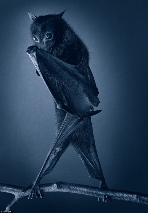 A camera shy bat captured by photographer Tim Flach. 'The 54-year-old has created a collection of incredible photographic portraits of animals so intimate they reveal the complex emotions of their subjects.' http://ow.ly/fk1w9