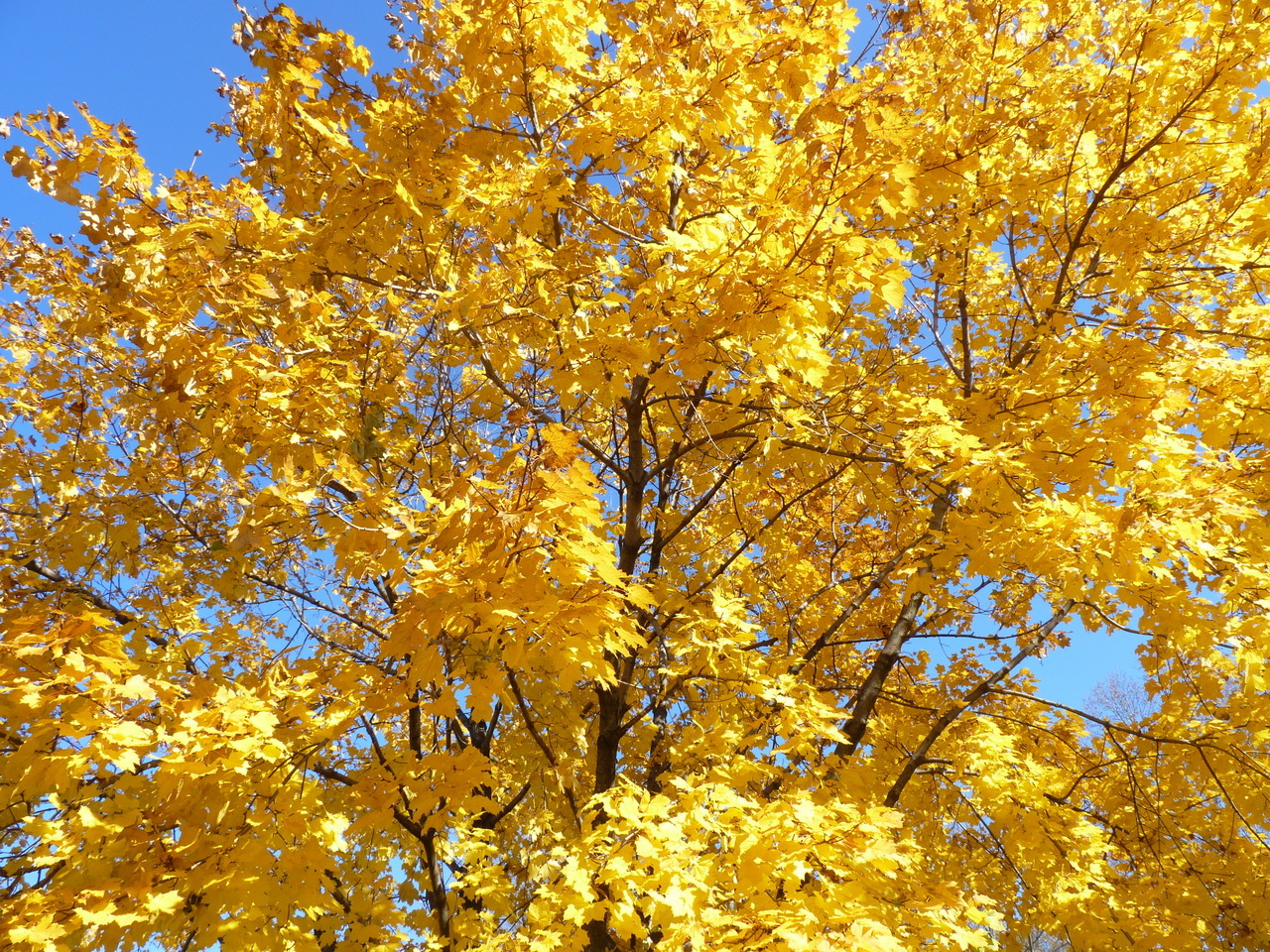 The maple tree in our front yard, showing off its glorious fall color.