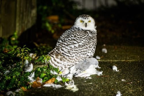 Snowy Owl eats a seagull on Capitol Hill at 11th Ave E & E John St.  http://www.youtube.com/watch?v=8r4qkafds14&feature=youtu.be  Via flickr.com/lavid