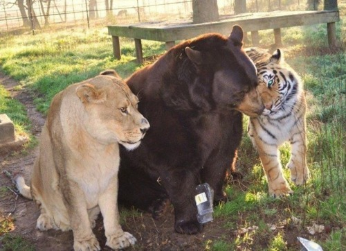 "uptownbackinit:  ""Leo the lion, Shere Khan the tiger and Baloo the bear were found together as cubs during a police raid of a drug baron's home in Atlanta. When the young trio moved to Noah's Ark rescue center in Locust Grove, Ga., zookeepers decided to keep them together, and they all still live and play in their very own habitat. Visitors can watch the 1,000-pound bear, 350-pound lion and 350-pound tiger cuddle, lounge and wrestle together, and zoo Co-Founder Jama Hedgecoth says the animals are oblivious to the fact that they aren't natural companions.""   The moral of this story is obviously that drug barons preach acceptance no matter who you are. Touching, really."