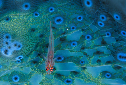 magicalnaturetour:  Goby FishPhotograph by David Doubilet, National Geographic:)