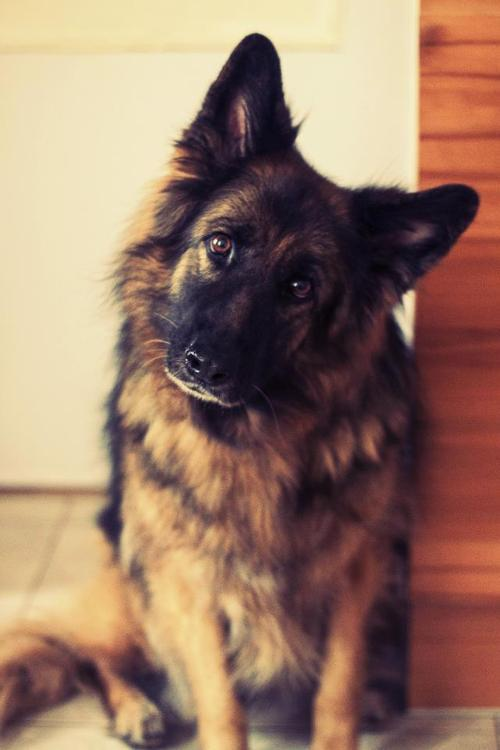 This picture reminds me too much of my german shepard . I miss you Apollo <3