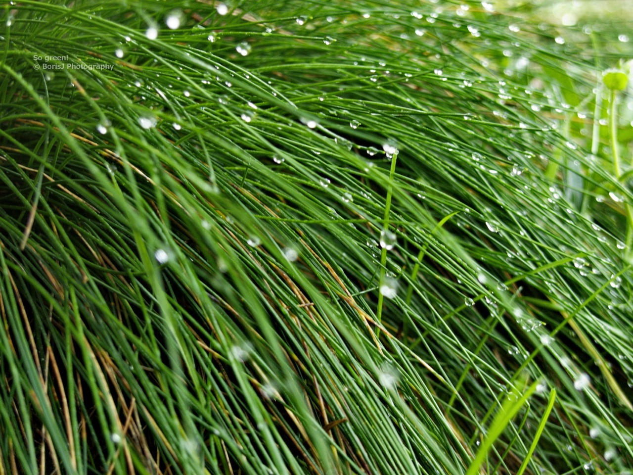 So green! Point-and-Shoot macro shot of very green Grass and shiny Water drops during a walk in the Black Forest. Panasonic Lumic LX31/125sISO 400f/2.8 Bad Herrenalb,Germany Flickr - Twitter - Facebook - Google+ - Posterous - 500px Copyright © BorisJ Photography - Boris Jusseit - all rights reserved - please do not use this image on any media without my permission.