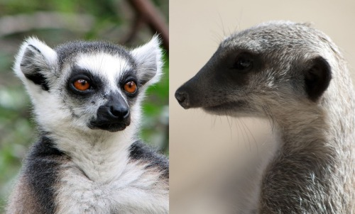 How To Tell The Difference Between A Lemur And A Meerkat. Deeply important information.