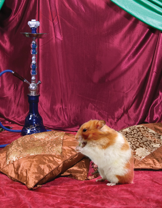"The Cute Show - Syrian Hamsters   A photo of a fat, furry hamster sitting on a bed of pillows chowing down on some grain with a hookah in the background may seem like an inappropriate usage of one of the last remaining pages of an issue dedicated to Syria. But we want to make it clear that this ancient culture isn't all guns and explosions and death and crackdowns by the secret police—there's cute to be found, if you look hard enough. Syrian hamsters, also known as golden hamsters, are native to Syria (duh) and were first discovered in 1830 by British zoologist George Robert Waterhouse. These furry bags of joy love desert climates and stuffing as much food into their cheek pouches as possible—in fact, their Arabic name roughly translates as ""Mr. Saddlebags."" Not joking. But don't let their overwhelming cuteness fool you: These guys are extremely territorial and frequently get into scraps with neighboring hamsters or even other family members. And if baby hammies happen to come into contact with humans, their mother will kill and eat them since any unfamiliar scent is considered a threat. Even the smallest of creatures DO NOT fuck around over there. Damn, and this was supposed to be the cute part of the issue.  Considering the current hostile environment, we thought it best not to travel to the Syrian desert to find a hamster to rub against our faces, but you can buy them at basically any pet store. To see some other cute animals we were actually able to hang with, check out episodes of The Cute Show!"