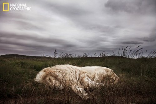 creepicrawlies:  This male lion rests in the soft grass on a gloomy day in South Africa. Photo and caption Courtesy Ande Truman/ National Geographic Your Shot