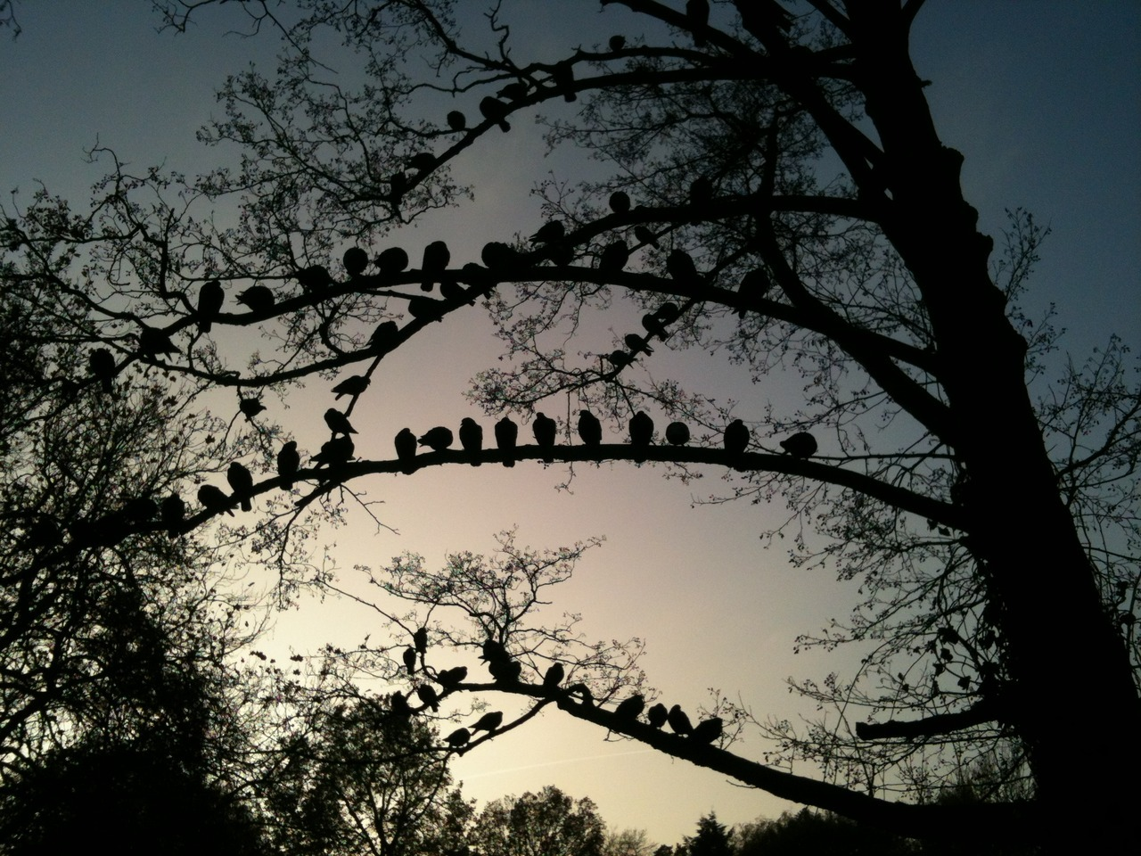 Pigeons roosting in Peckham Rye on a chilly November afternoon.