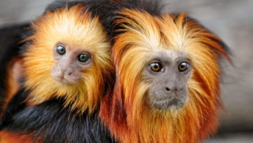 Brazil hopes to save species by cloning themScientists say any successfully cloned animals would be used in zoos for captive breeding, and would only be released into the wild as a last resort.