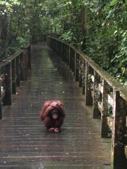 Aww haha poor orangutan but this is also super cute :(