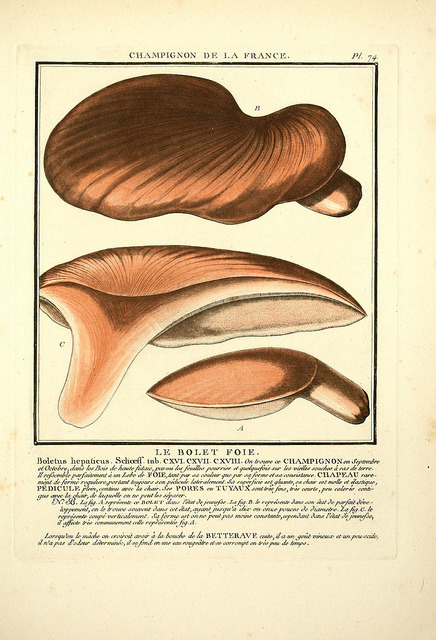 Fistulina hepatica - the beefsteak fungus by BioDivLibrary on Flickr. Herbier de la France;.Paris,Chez l'auteur, Didot, Debure, Belin,1780-93..biodiversitylibrary.org/page/4295891