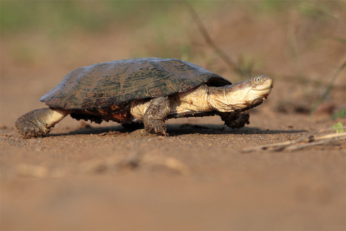 reptiglo:  Lieschen Müller on the run - Turtle @ imfolozi South Africa 2012 by Jan Rillich on Flickr.