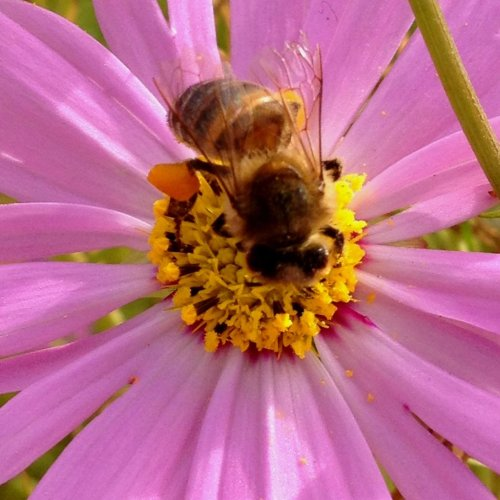 Bee working time at #Pinkalicious cosmos #macroaddict #noedit #closeupflower#allshots #awesomeshots #streamzoo #macro #flower #bee(from @ayparcasi on Streamzoo)