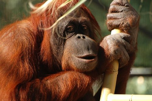 animals-animals-animals:  Orangutan (by PaulMcKinnon)