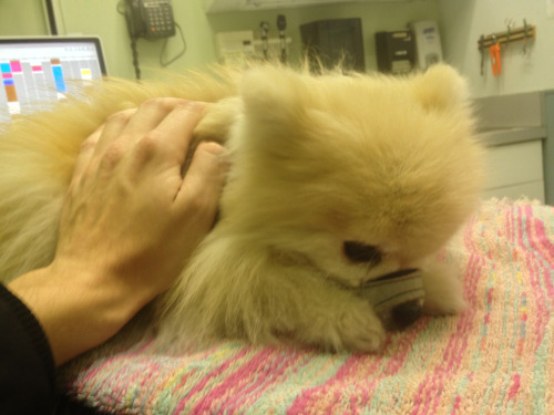 tommypom:  mackenzie:  The movers just broke Tommy's leg, and I have now abandoned all my stuff with strangers and rushed him to the vet. This has been a horrible 2 weeks.  I will get better.. Promise.  REBLOG FOR THE SUPPORT~! GET BETTER TOMMY POM!!!!
