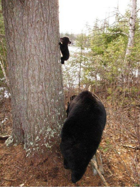 raurublock:  (via Baby bear's first climbing lesson - Imgur)  He's so little.