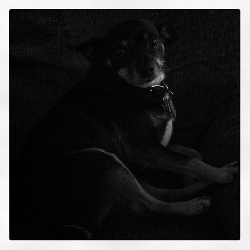 Rico Suave relaxing in the chair #dog #blackandwhite