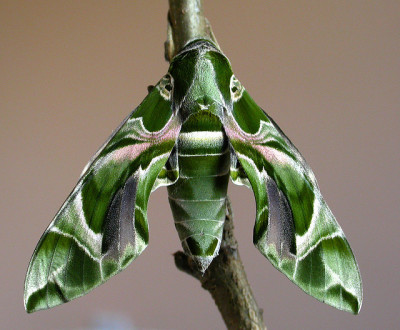 rhamphotheca:  mothsaregreat: Oleander Hawk Moth (Daphnis nerii), Asia, Africa, and Europe (photo by od0man on Flickr)
