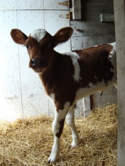 imkirstyn:  hi surprised looking baby cow