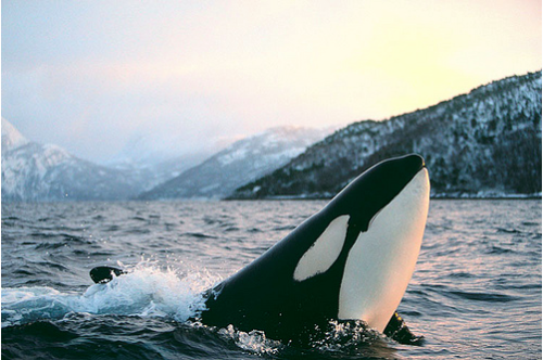newyorknative:  Orca (by Jonathan Ball)