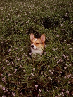 the corgie & the flowers
