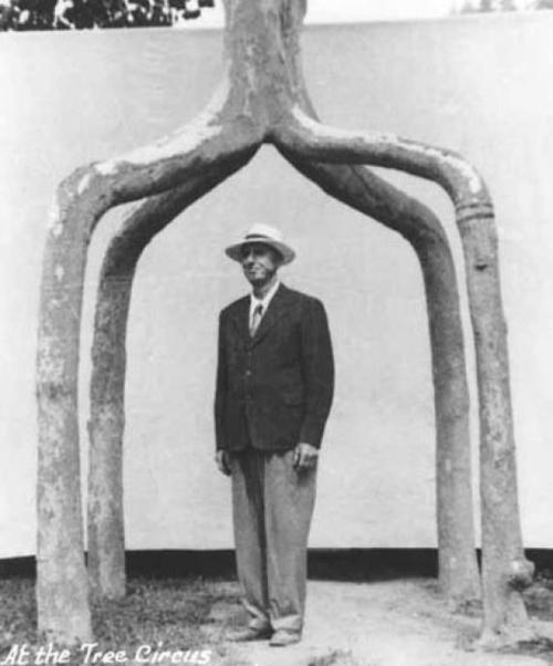 "itcouldbeamazing:The Circus Trees of Axel Erlandson A farmer in California, Erlandson had noticed the curious ability of trees to naturally graft themselves together. So, in 1925 Erlandson began planning a series of trees that were deliberately grafted together for artistic effect. His first creation was the ""Four Legged Giant,"" four trees which he merged into a single truck, creating a kind of tree-gazebo. In 1945, twenty years after Erlandson had begun his hobby, his daughter suggested to her father that he might open some kind of ""Tree Circus"" to showcase his unusual arbor creations. Erlandson did just that, creating over 70 unique items in his Tree Circus. Among his creations were a tree that split into a cube, an arch tree and a six-tree woven basket."