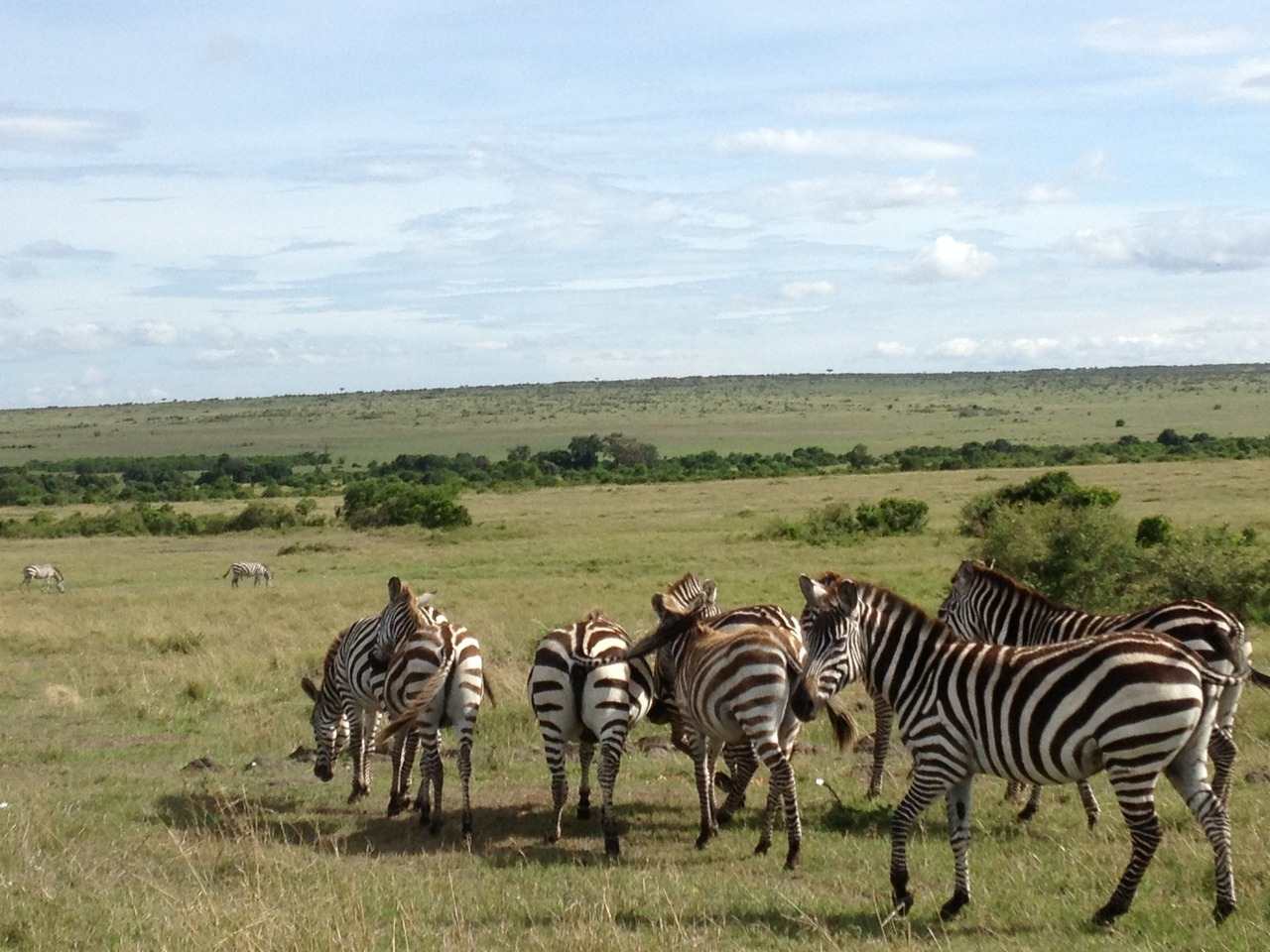 Zebra on the Mara