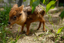 An one-month old baby pudu deer grazes in an artificial environment at an University in Concepción City, south of Santiago. The pudu, the world's smallest deer, was found orphaned in a forest and inhabits exclusively in southern Chile and part of Argentina. The species is currently in danger of extinction Photograph: Jose Luis Saavedra/Reuters