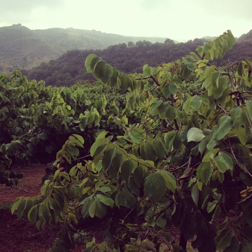 Goodland Organic Coffee Farm on a rainy day in Santa Barbara - wow!