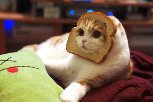 preachinqcats:  OMFG GUYS OH MY GOD ITS A FUCKING CAT WITH BREAD ON ITS HEAD GODDAMIT JUST LIKE MY MOTHERFUCKING ICON OMFG IM SCREAMING SOMEBODY HOLD ME I CANT CONTTROLL MY EMOTIONS FUCK IM SCREAMING CAT BREAD HEAD HAHAHA INSTEDAD OF BED HEAD ITS BREAD HEAD OMFG GUYS IM DONE THEY ARE TWINS OMFG IM FCUKING SCREAMING