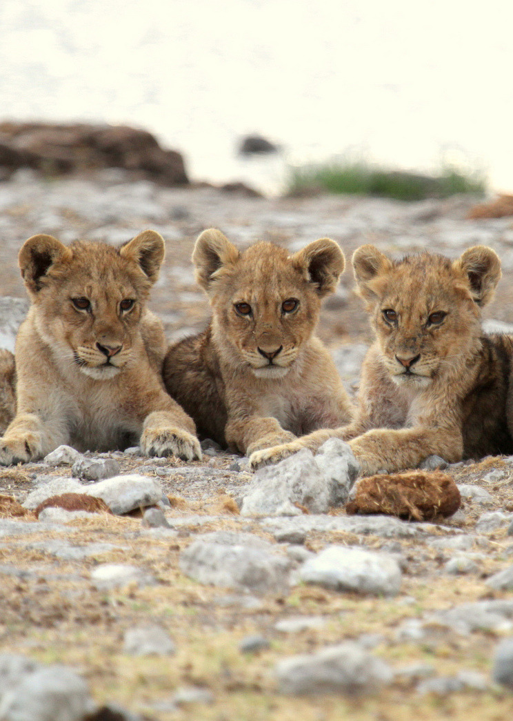 manolescent:  Lion Cubs ♡