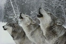 theenchantedcove:  A Trio Of Gray Wolves, Canis Lupus Photograph by Jim And…