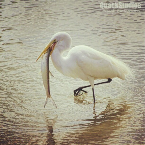 Nice catch - www.quackstudios.net #birds #animals #pets #beach #instamood #instagood #outdoors #nature #canon #nikon #photographer #photoshoot #photography #fishing #fish #film #35mm #dj #music #love #passion