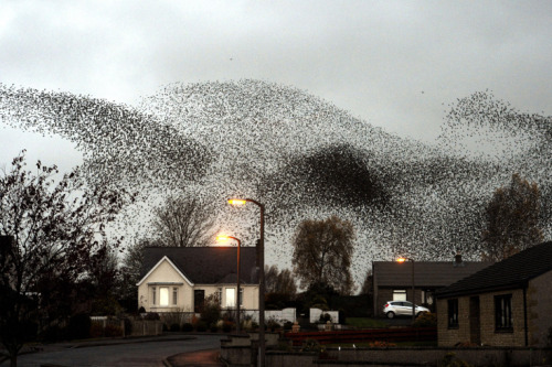 PA Photos / Landov  Nov. 11, 2012. A murmuration of starlings put on an a display over the town of Gretna, Scotland. Read more: http://lightbox.time.com/2012/11/16/pictures-of-the-week-november-9-november-16/#ixzz2CWjfslbC