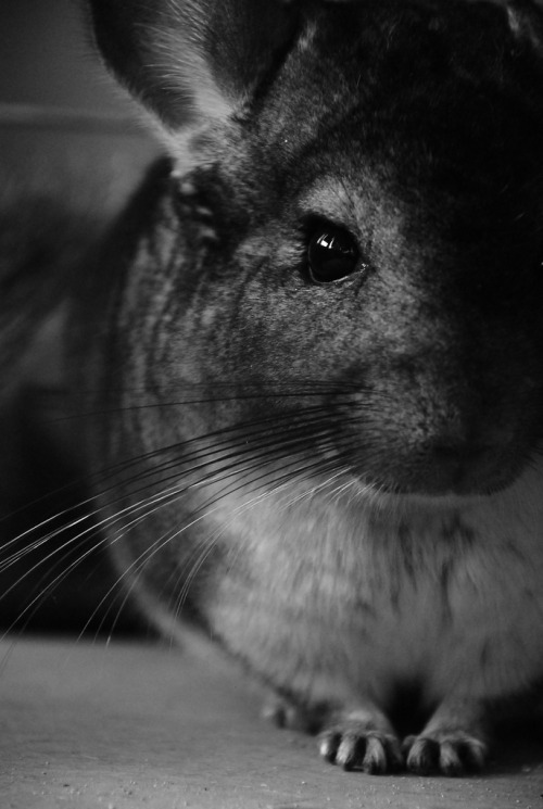 Chinchilla (by szarlot)