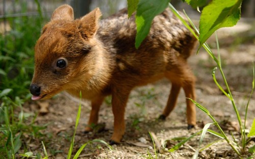 A one-month-old baby Pudu deer grazes at a university in Concepcion, Chile. The Pudu, the world's smallest deer, was found orphaned in a forest close to the city.