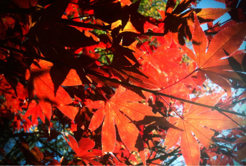 Lots of Japanese maples in my neighborhood.