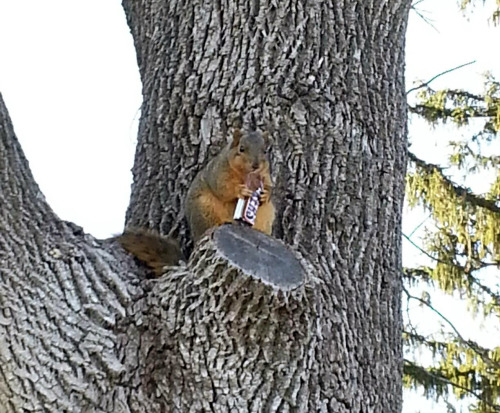 "thefluffingtonpost:  Squirrel Finishes Last Bit of Halloween Candy In an effort that took more than two weeks, an area squirrel named Carl polished off the last Snickers bar in his Trick-or-Treat bag Sunday. ""With the winter coming, we honestly expected this sooner,"" says candy analyst Chip Foster. ""Looks like Carl is headed for hibernation with a belly full of corn sugar."" Via uiorhet."