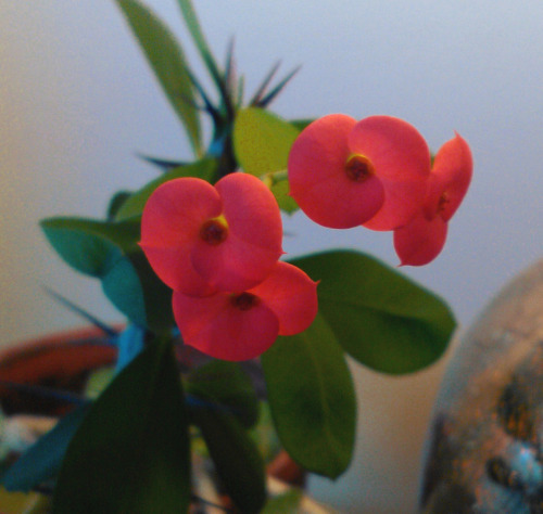 My crown of thorns is finally flowering