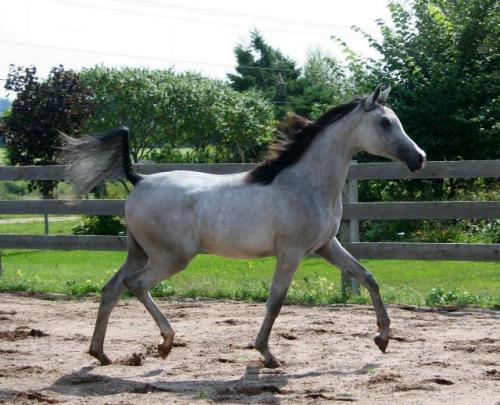 SETIA (SETAI x Ali Maarlia) 2011 Grey Filly