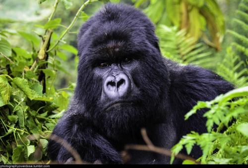 photographyoverdose:  A silverback mountain gorilla in rwandamore photography here