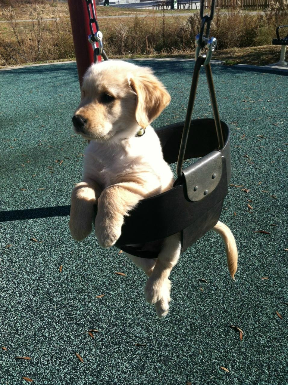 miserableface:  Dog On a Swing!  !!
